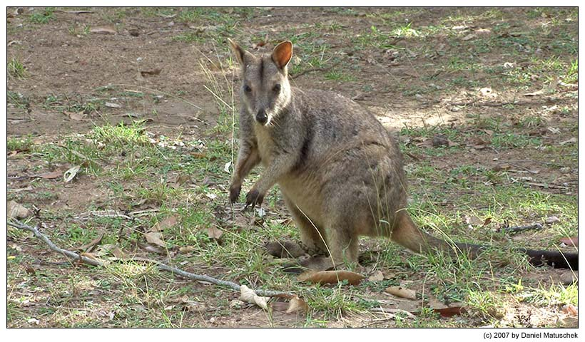Wallaby im Bowling Green N.P.