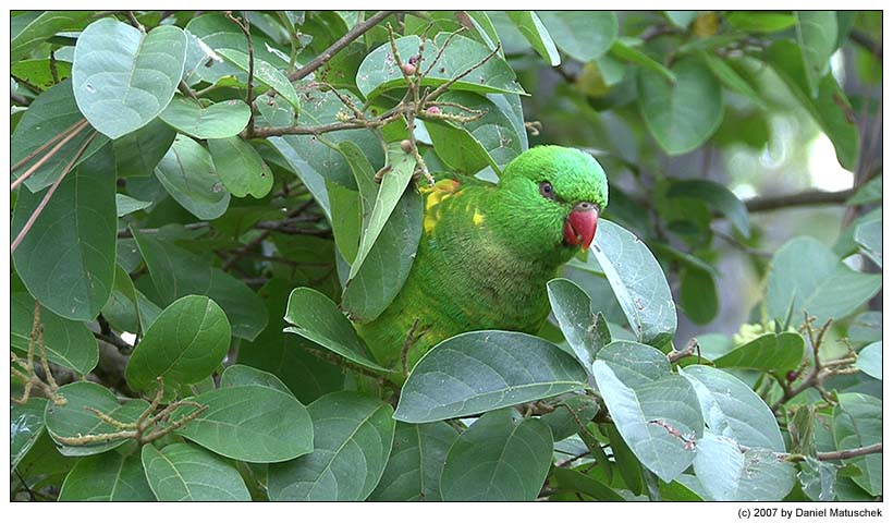 Schuppenlori / Scaly-breasted Lorikeet / Trichoglossus chlorolepidotus